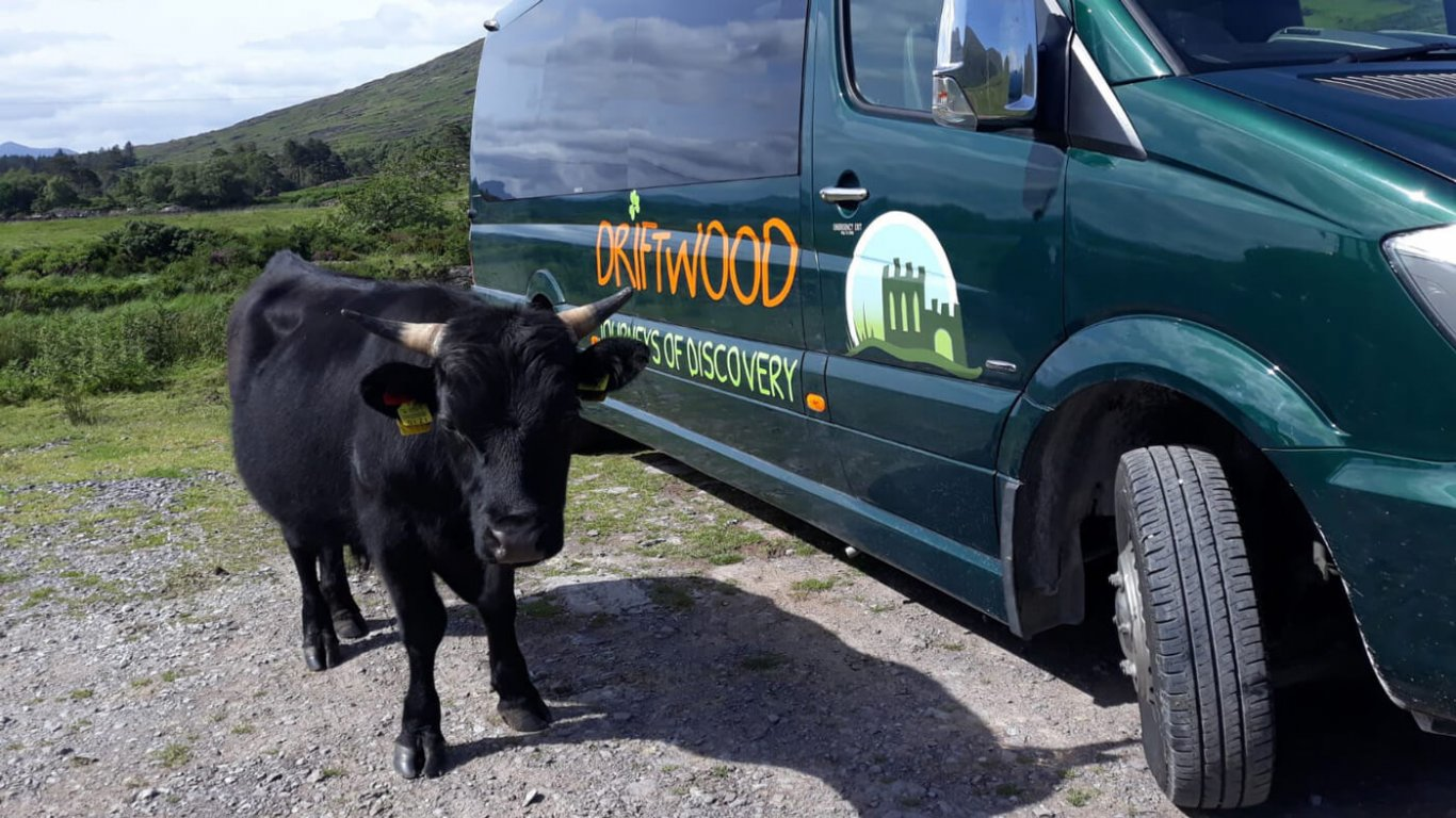 Bull or cow beside Driftwood tour vehicle in Ireland