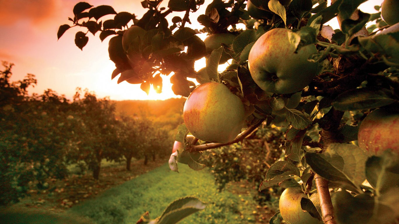 Golden sunlight settles on an apple tree in an orchard in Armagh, Ireland