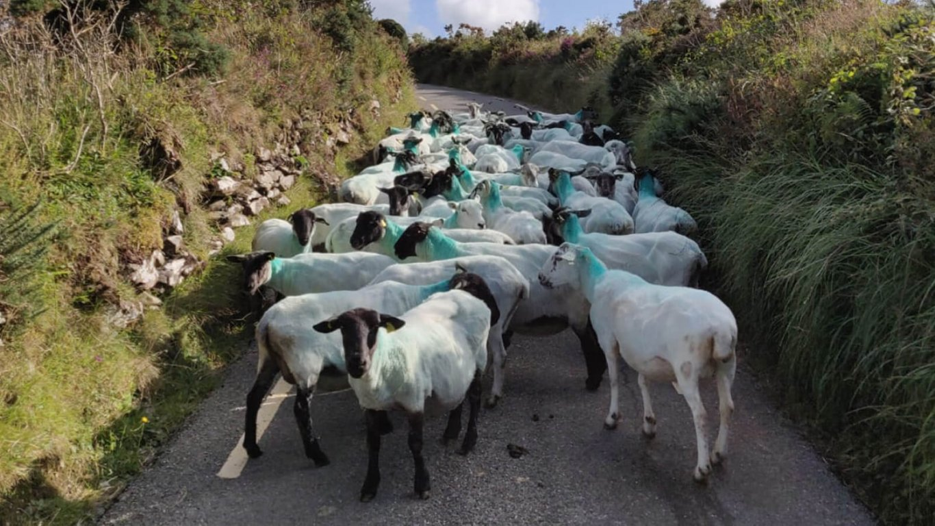 A flock of sheep blocking a narrow road in Ireland