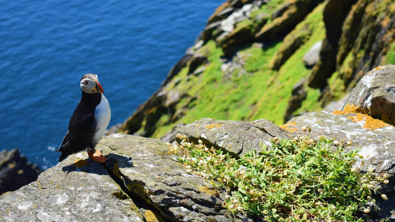 A puffin sitting on Skellig Michael