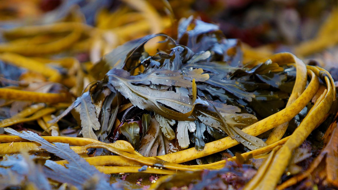 Seaweed in Ireland