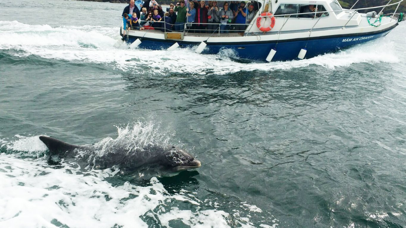 Fungi the dolphin shows up while guests are on a boat in Dingle Bay