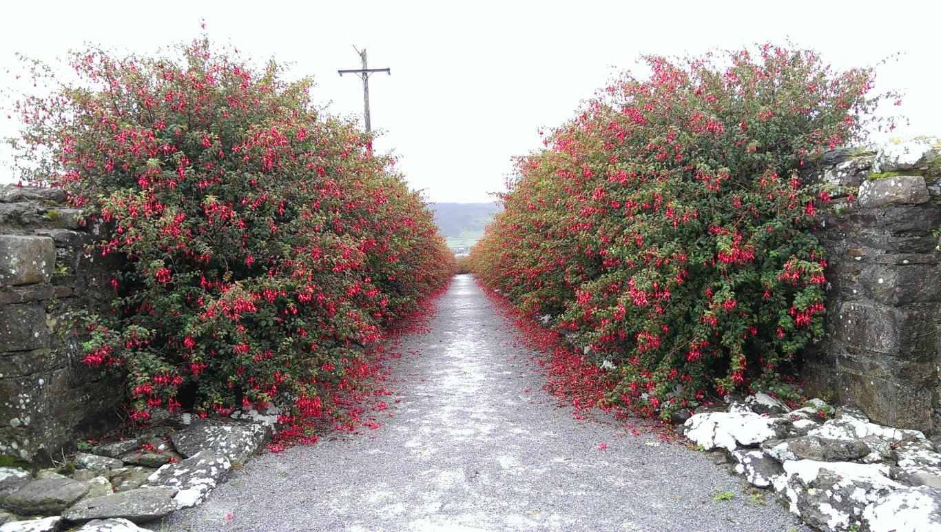 A lane lined with pink Fuchsia on either side