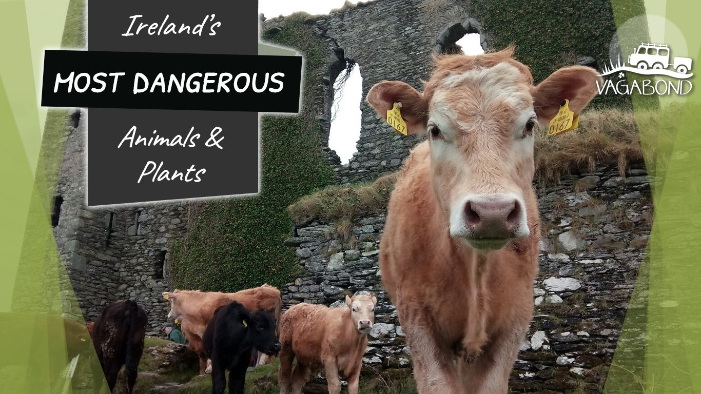 Ireland's Most Dangerous Wildlife with cow and castle