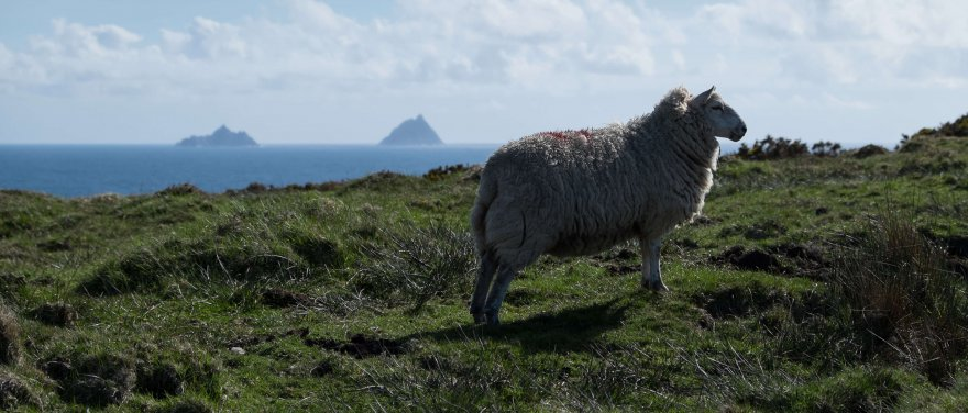 Scenic sheep on Bray Head in Kerry, Ireland