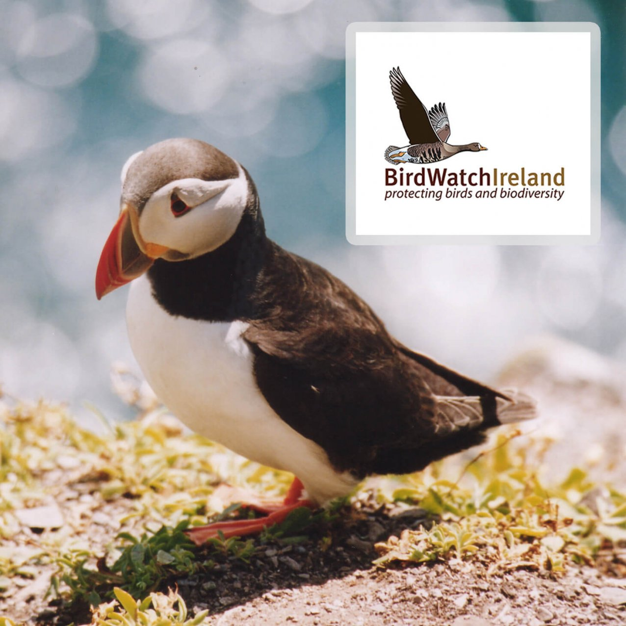 Puffin with BirdWatch Ireland logo