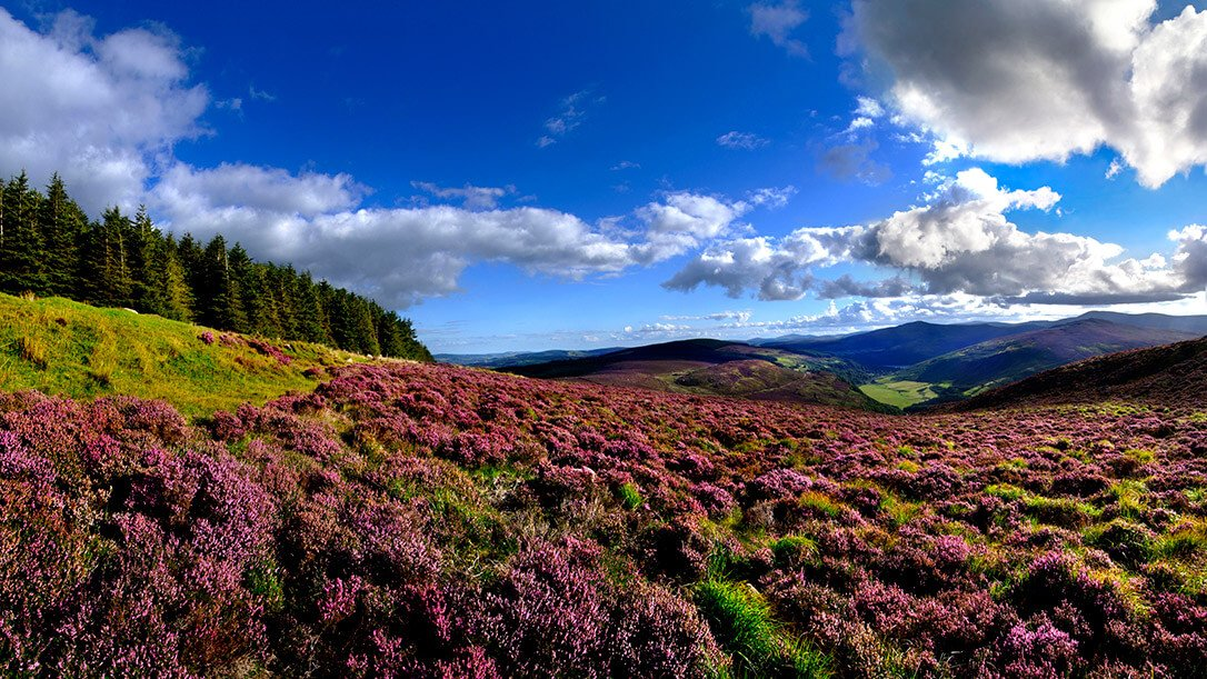 Heather and blue sky in the Wicklow Mountains National Park