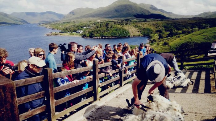 Tour group watch a sheep shearing demonstation in Killary Harbour, Ireland