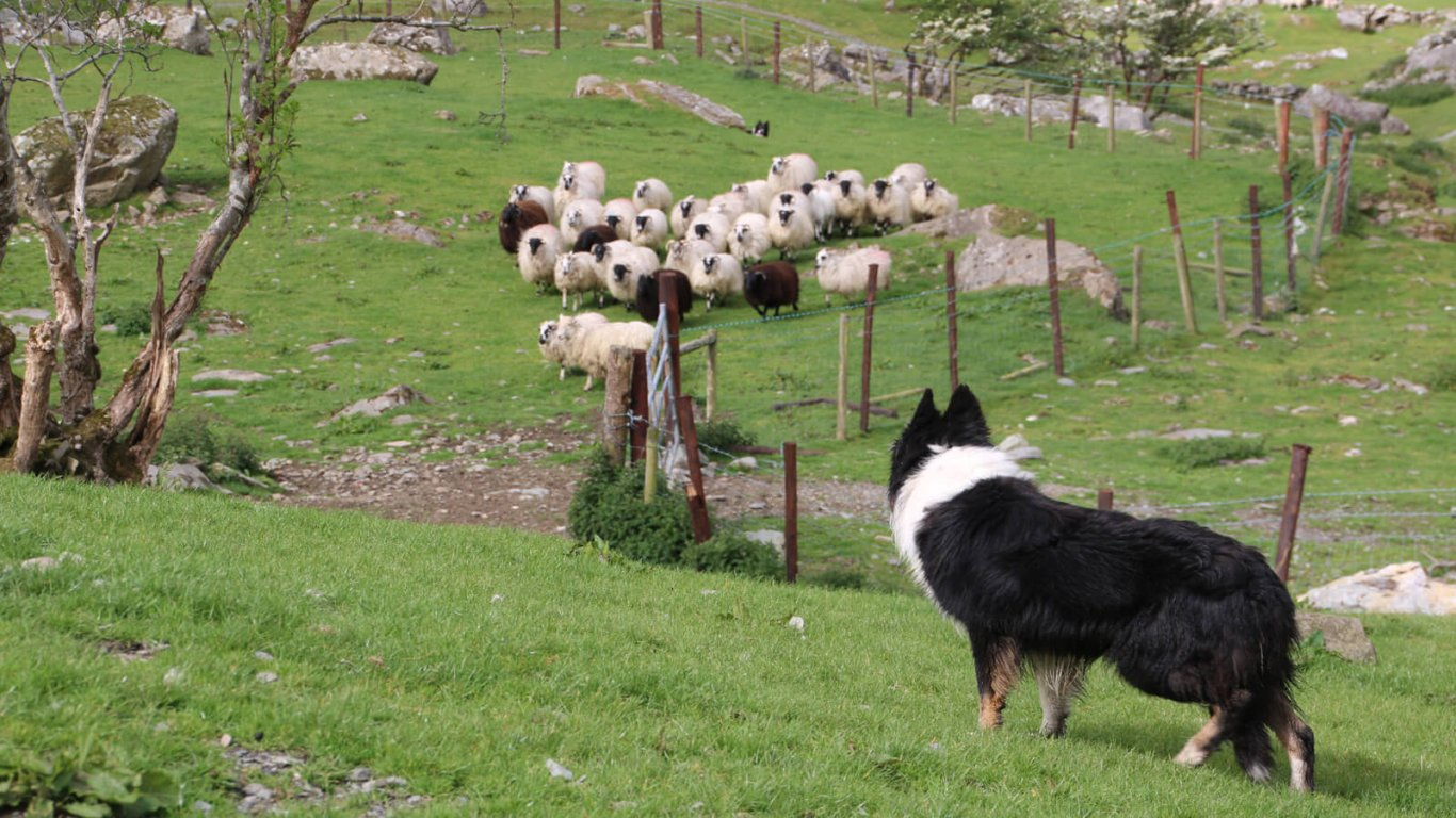 Sheepdog looking at flock of sheep in Ireland