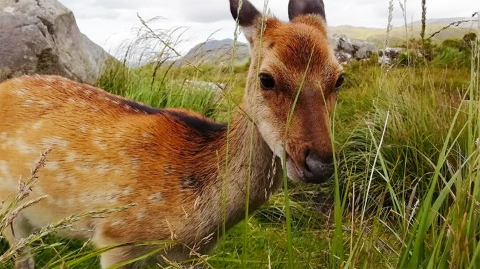 A close up picture of a native red deer in Killarney National Park