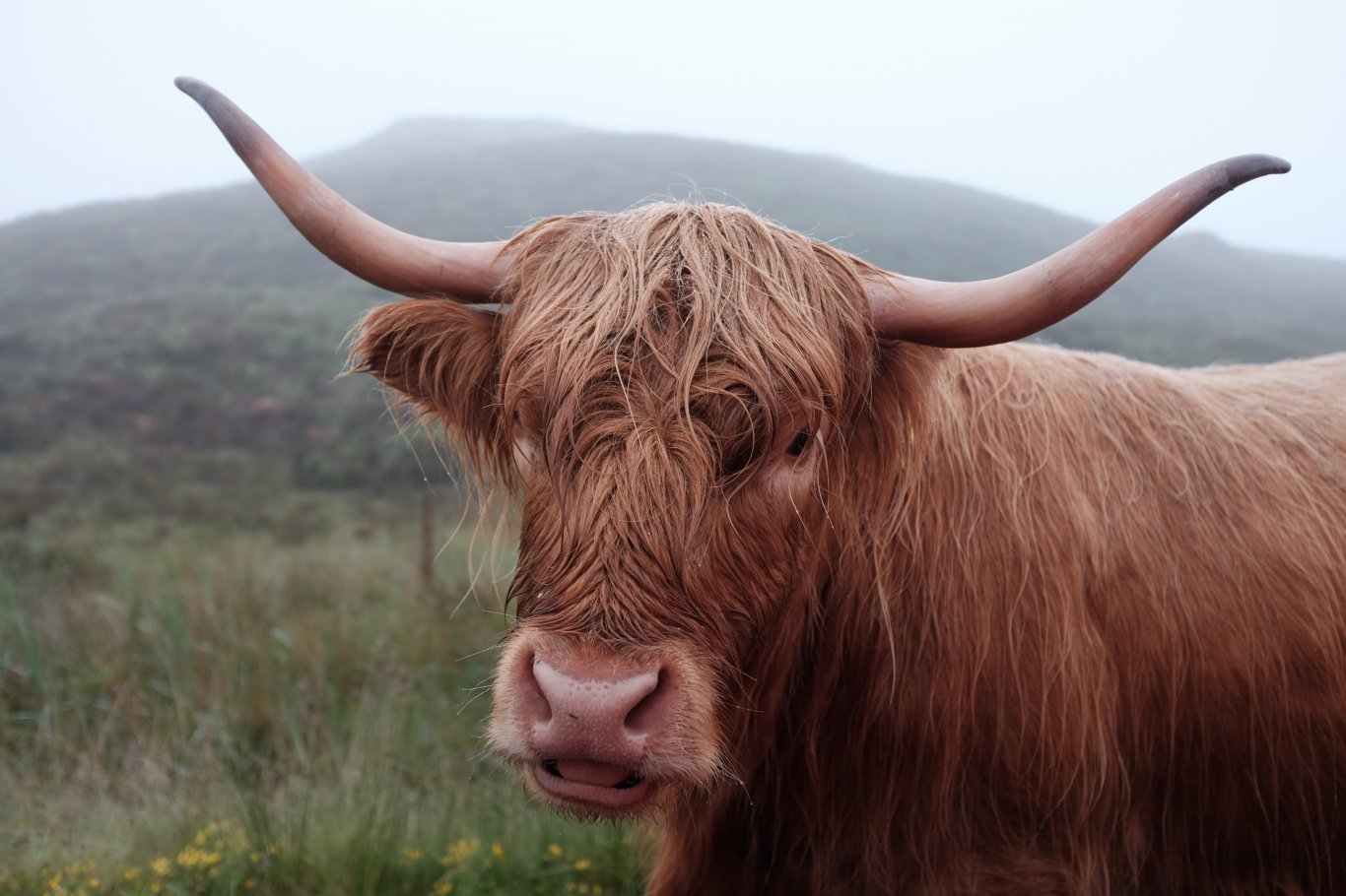 Brown Bull of Cooley
