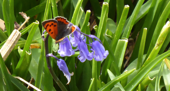 Copper butterfly on bluebell in Sheskinmore. Photo courtesy of Friends of Sheskinmore