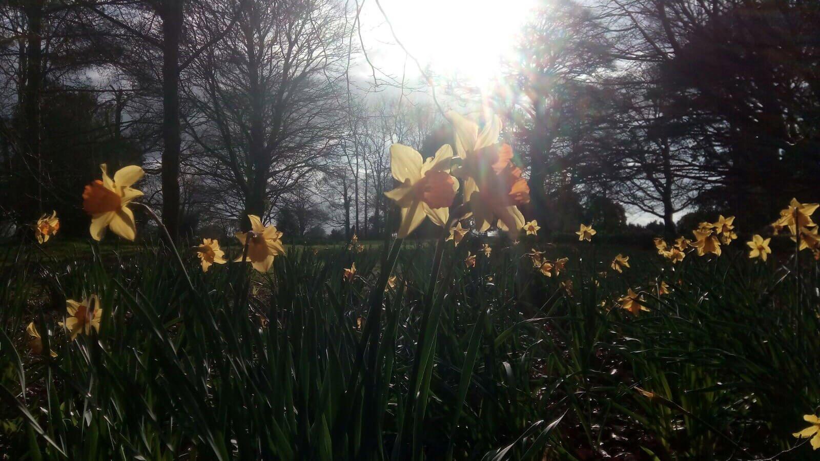 Daffodils in Blarney