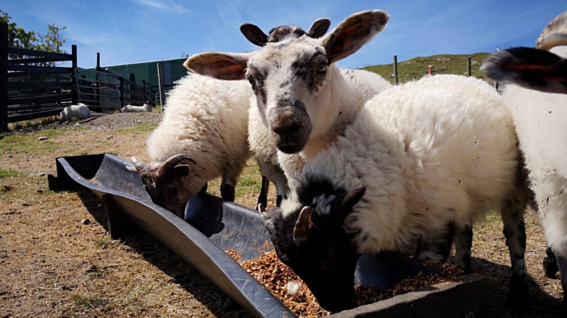 Cute lambs feeding at a trough