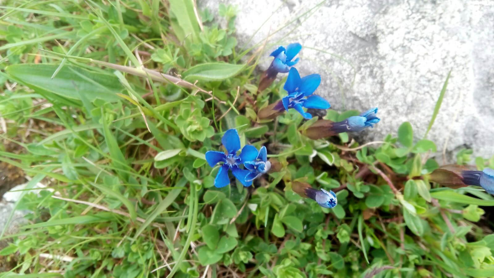 Spring Gentian flowers in the Burren