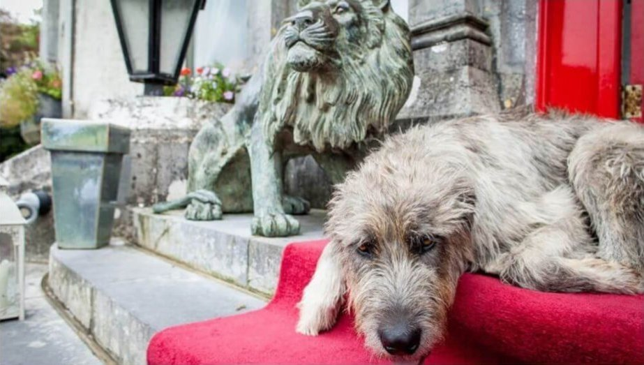 Mr Higgins the Irish wolfhound reclines on the red carpet at Ballyseede Castle Hotel
