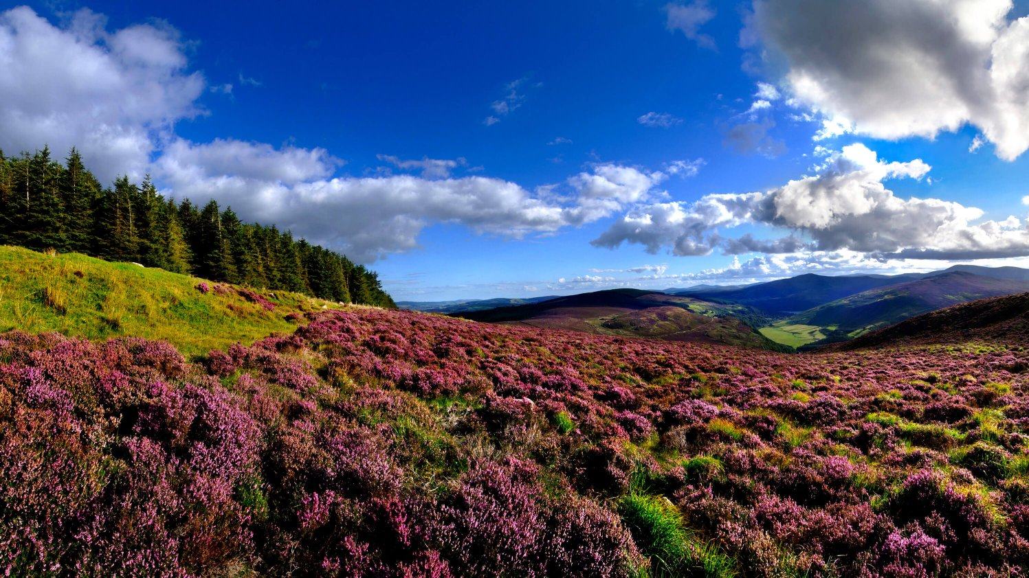Purple heather in Wicklow Mountain National Park