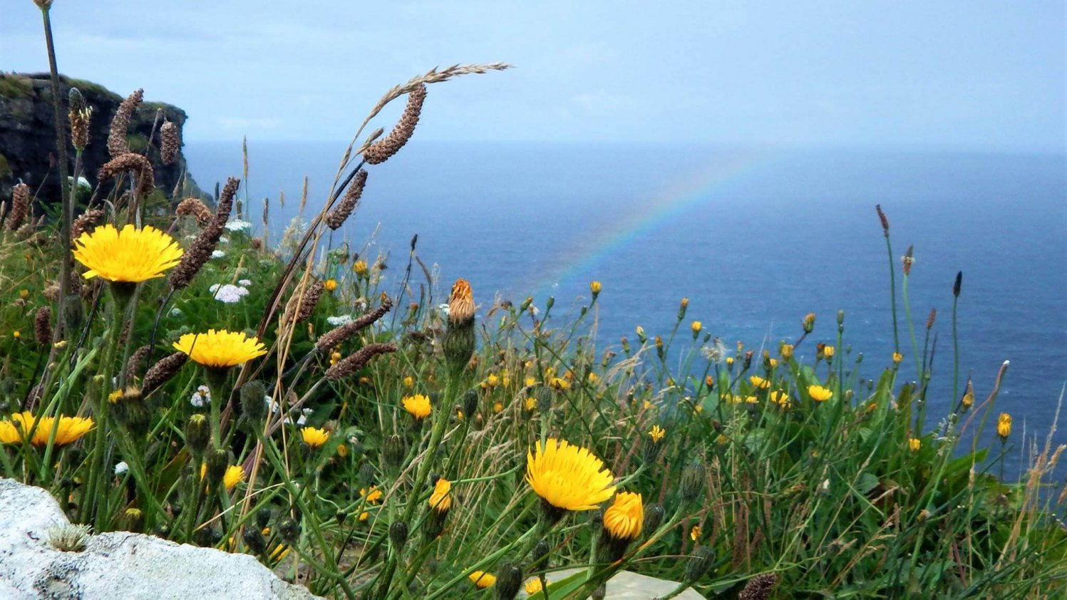 Rainbow hits the Cliffs of Moher in the background while yellow wildflowers grow amongst grass in the foreground, Ireland