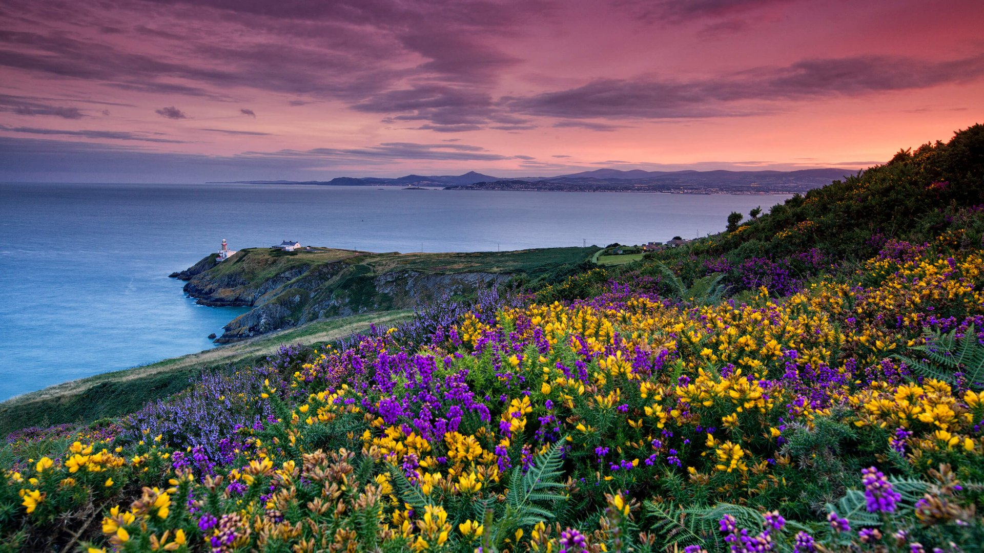 Colourful heather and gorse flowers above Howth Head lighthouse and a view south across Dublin Bay